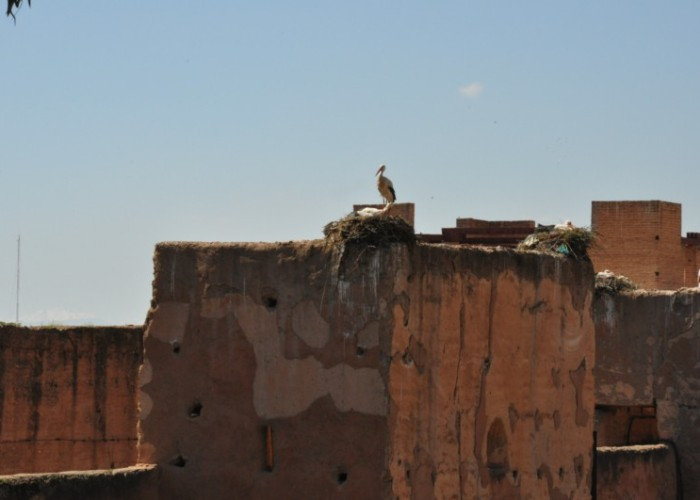 The Infamous Storks of Marrakech