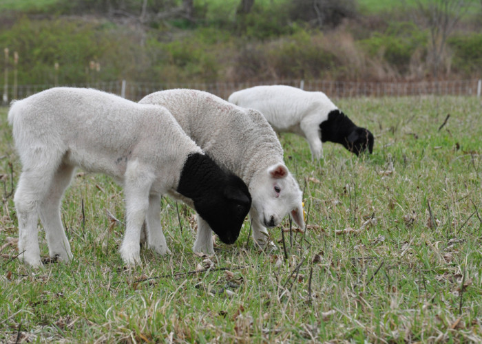 Recently Birthed Lambs