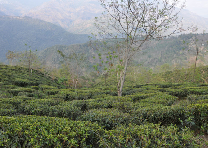 Glenburn Tea Estate, Darjeeling
